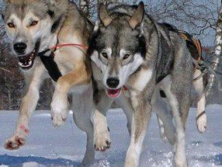 Huskyausfahrt, Hundeschlittenfahrt